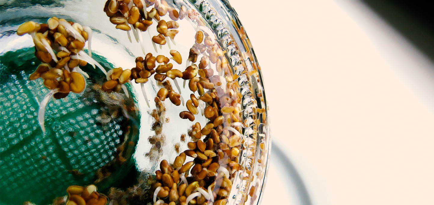 Alfalfa Keimglas Tag 2 - 12 Stunden später