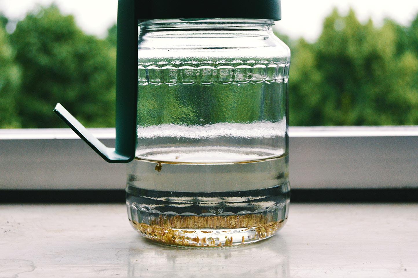 Alfalfa Sprossen im Keimglas